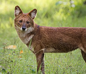 Dhole (Cuon alpinus), portrait, Kabini Forest, Nagarhole National Park, India