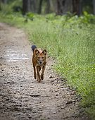 Dhole (Cuon alpinus), walking on park trail, Kabini Forest, Nagarhole National Park, India