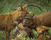 Dhole (Cuon alpinus), pack members socializing, Kabini Forest, India
