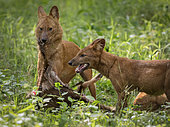 Dhole (Cuon alpinus), pack members sharing deer prey, Kabini Forest, India