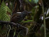 Alapi tabac (Myrmeciza laemosticta) sur une branche, Darien, Panama