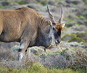 Eland du Cap (Taurotragus oryx) mâle dans le fynbos, Cape Point, Afrique du Sud