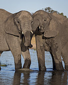 African Elephant (Laxodonta africana), two females at waterhole, Hwange National Park, Zimbabwe, July