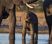 African Elephant (Laxodonta africana), calf touching female's tusk, Hwange National Park, Zimbabwe, July