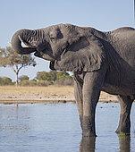 African Elephant (Loxodonta africana), bull drinking at waterhole, Hwange National Park, Zimbabwe, July