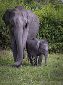 Indian Elephant (Elephas maximus), female with young calf, Kabini Forest, India