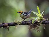 Flame-faced Tanager (Tangara parzudakii), Ecuador