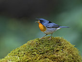 Flame-throated Warbler (Oreothlypis gutturalis), male calling. Chiriqui Highlands, Panama