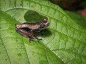 Treefrog (Boana geographica), dotted juvenile morph, Yasuni National Park, Ecuador