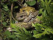 Streamside Treefrog (Smilisca sordida), pair in amplexus, Valle de Anton, Panama, December