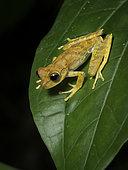 Treefrog (Boana sp), Madre de Dios, Peru