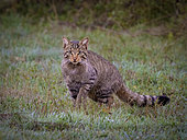 European Wildcat (Felis silvestris), León, Spain