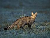Chat sauvage (Felis silvestris) dans l'herbe, León, Espagne