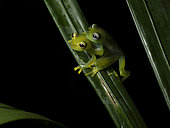 Glass frog (Teratohyla spinosa), pair in amplexus, central Panama, July