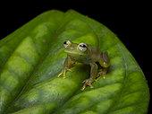Glassfrog (Teratohyla spinosa), Darien, Panama
