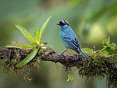 Golden-crowned Tanager (Tangara ruficervix), Ecuador