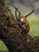 Rhino beetle (Golofa eacus), male, Abra-Patricia reserve, Peru
