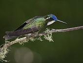 White-throated Mountain-gem (Lampornis castaneoventris), male, Costa Rica