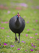 Helmeted Guineafowl (Numida meleagris), Cape Town, South Africa, July
