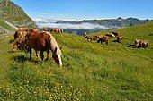 Horses in summer on the mountain pasture, Vallée d'Aspe, Pyrénées Atlantiques, France