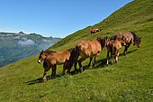 Horses in summer on the mountain pasture, in the distance the peak of Mailh Bassibé and the valley of Aydius, brown bear biotope, Vallée d'Aspe, Pyrénées Atlantiques, France