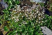 Saxifrage étoilée (Saxifrage stellaris), Habitat : sources froides, marécages subalpins et alpins sur silice, Pyrénées Atlantiques, France