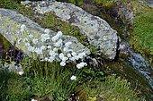 Whitish Thrift (Armeria canescens), Habitat: lawns, rocky outcrops on siliceous soils, Subalpine level, Pyrénées Atlantiques, France