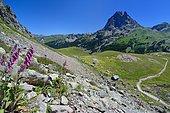 Digitale pourpre (Digitalis purpurea), Habitat : sur silice, étage montagnard, Sentier du PN des Pyrénées face au Pic du Midi d'Ossau, Vallée d'Ossau, Pyrénées Atlatniques, France