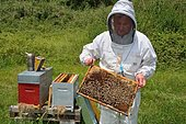 Mountain beekeeper: weekly control of the state of the colony. Buckfast bees: crossing of 2 strains: Italian bees and black bees, Lacarry, La Soule, Basque Country, France