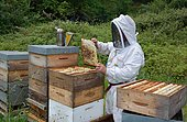 Mountain beekeeper: weekly control of the colony. Buckfast bees: crossing of 2 strains: Italian bees and black bees. Characteristics: prolific and known for their gentle behaviour, Lacarry, La Soule, Basque Country, France.