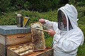 Beekeeper uncapping a few cells on a frame containing the honey reserves on the periphery of the brood, Lacarry, La Soule, Basque Country, France