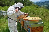 Beekeeper looking for the queen using a magnifying glass. Buckfast Bees, Lacarry, La Soule, Basque Country, France