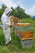 Mountain beekeeper during the weekly control of his apiary, Buckfast bees, Lacarry, La Soule, Basque Country, France