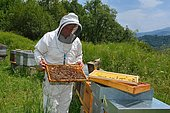 Mountain beekeeper controlling his colony of Buckfast bees, Lacarry, La Soule, Basque Country, France