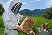 A beekeeper with a frame with the brood in the center and the sealed honey-filled cells on the periphery. Buckfast bees, Lacarry, La Soule, Basque Country, France