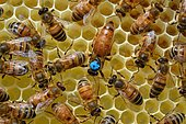 Buckfast bees: Queen laying in a cell, surrounded by workers, Lacarry, La Soule, Basque Country, France