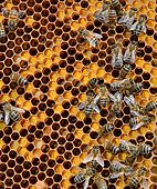Buckfast bees, brood with pollen-filled cells and open cells occupied by larvae, Lacarry, La Soule, Basque Country, France