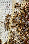 Buckfast bees feeding on chestnut honey in uncapped cells, Lacarry, La Soule, Basque Country, France