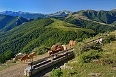 Herd at the trough facing the Iraty forest and the peak of Orhy (2017m), Basse Navarre, Pyrénées Atlantiques, France