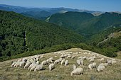 Herd of ewes in summer pastures above the Iraty forest: the largest beech forest in Europe classified Natura 2000, Basse Navarre, Pyrénées Atlantiques, France