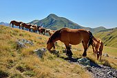 Herd of horses on the mountain pasture in front of the Pic D'Orhy (2017m), La Soule, Pyrénées Atlantiques, France