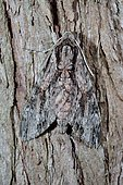 Convolvulus Hawk-moth (Agrius convolvuli)