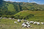 Ewes of Manech breed, black head and red head in summer, ewes adapted to the steep terrain of the Pyrenees: their milk is used to make the Ossau- Iraty registered designation of origin cheese, Haute Soule, Basque Country, France.