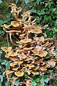 Honey mushroom (Armillaria mellea) at the foot of a tree in a wood, autumn, Finistère, France