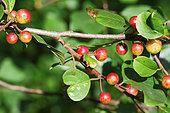 Glossy Buckthorn (Rhamnus frangula) fruits in early summer, Finistère, France