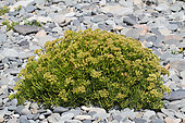 Sea fennel (Crithmum maritimum) in bloom at the base of a pebble line, summer, Finistère, France