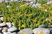 Sea Sandwort (Honckenya peploides) at the base of a pebble line, summer, Finistère, France