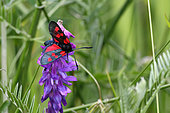 Five-spot Burnet (Zygaena trifolii) gathering a vetch in a meadow, Spring, Finistère, France