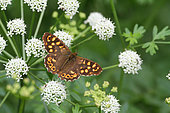 Speckled Wood (Pararge aegeria) gathering an umbellifer, summer, Finistère, France