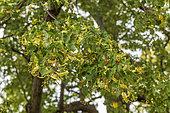 Littleleaf linden (Tilia cordata), Bouxwiller, Bastberg, Alsace, France